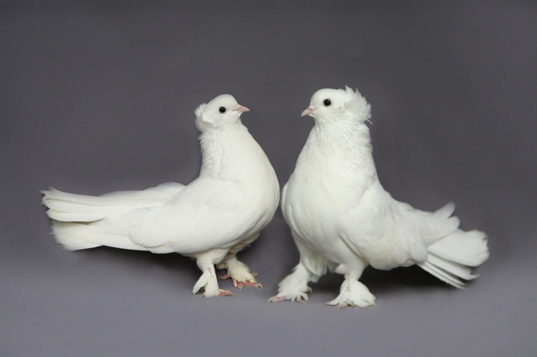 газобетоне порода голубей декоративные с фотографией костюма джокера